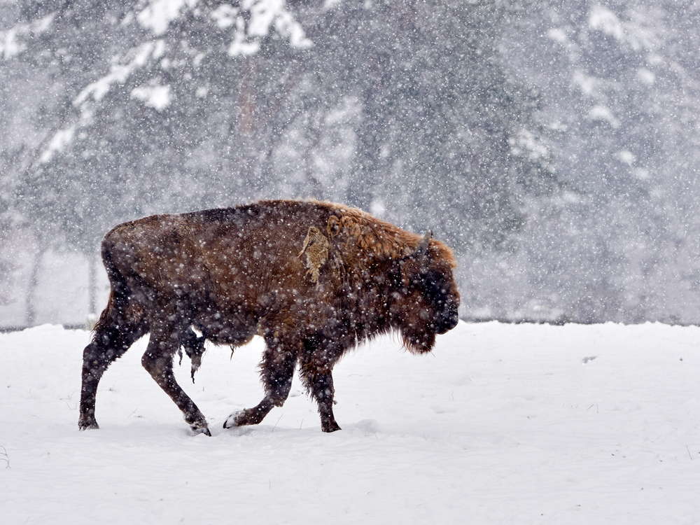 Wisent im Winter