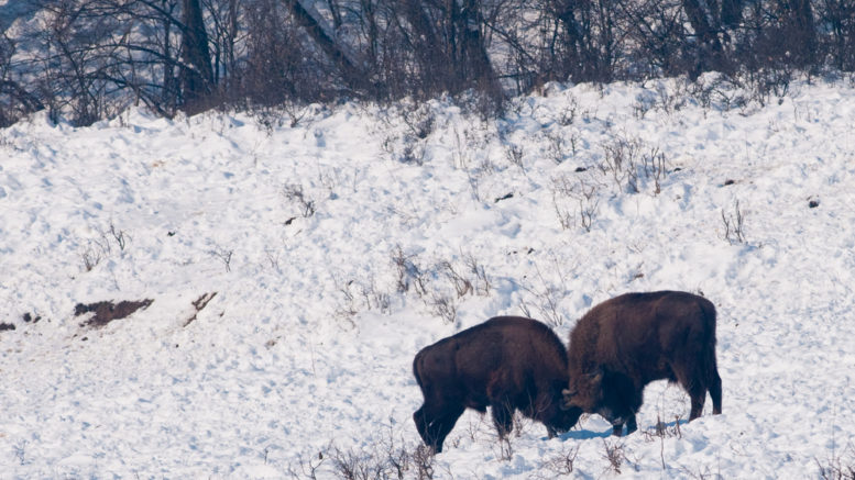 kämpfende europäische Bisons (Wisente)