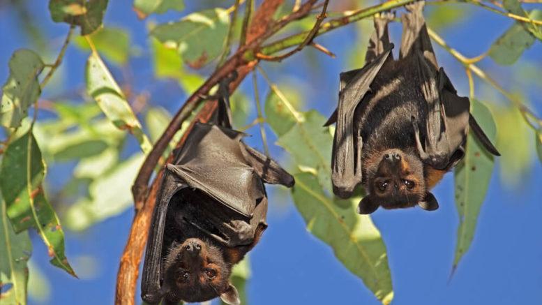 Fledermäuse kopfüber am Baum