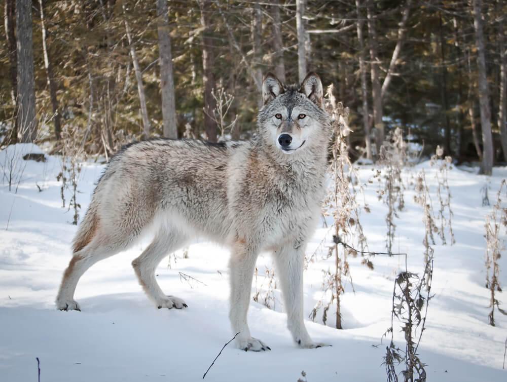 Ein Wolf im Schnee