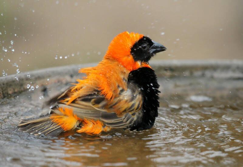 Vogel beim Bad im Vogelbad