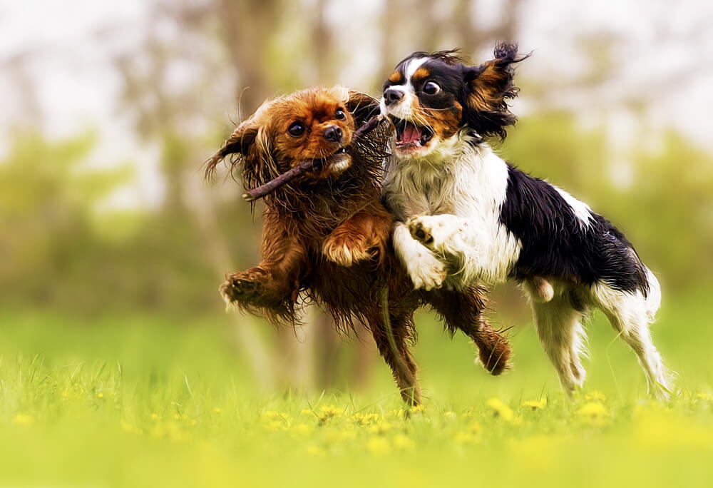 zwei kämpfende Hunde