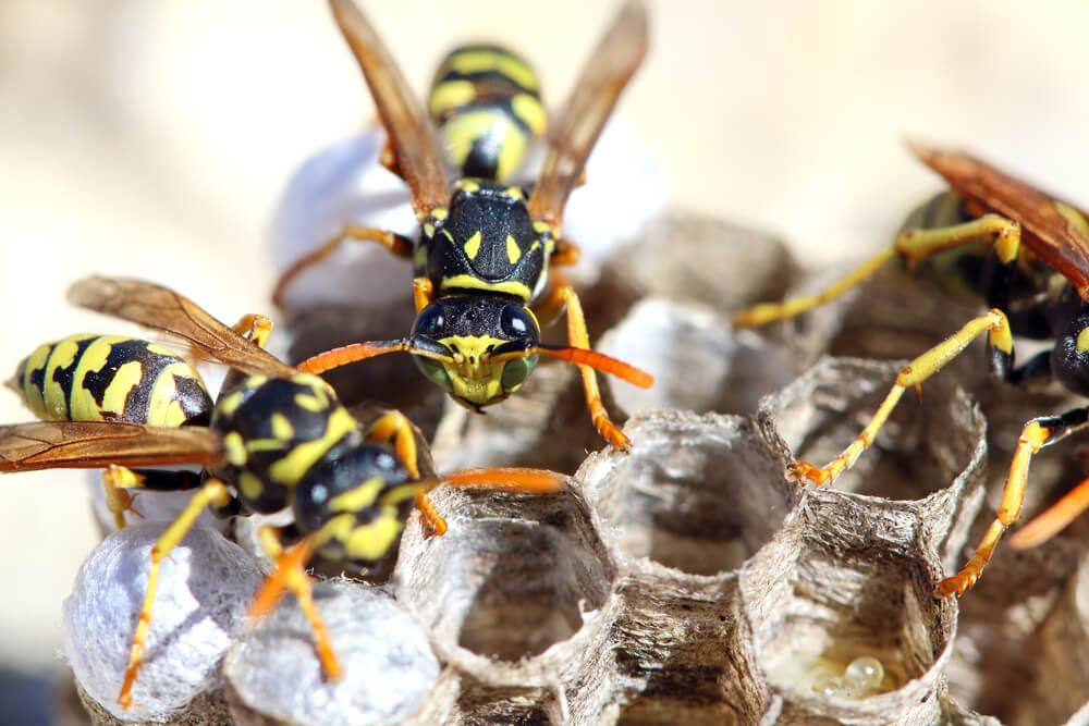 Wespennest mit zwei Wespen