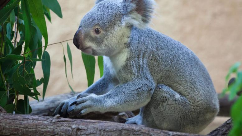 Ein Koala im Zoo